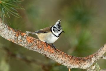 uccello cincia Parco Nazionale Svizzero dell'Engadina