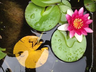 ninfea fiorita