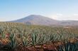 Campo de agave en Tequila, Jalisco (México) - 68137202