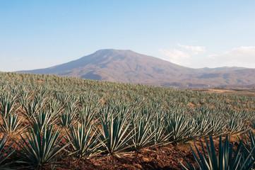 Campo de agave en Tequila, Jalisco (México)