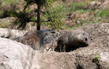 Marmotta alpina con cucciolo