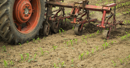 Cultivating field of young corn crops