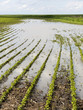 Agricultural disaster, field of flooded soybean crops. - 68140872