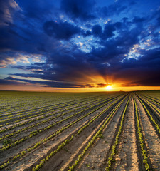 Surreal sunset over growing soybean plants at ranch field