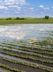 Agricultural disaster, flooded soybean crops.