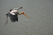 flying stork catching fish