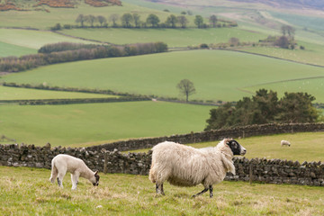 ewe with lamb grazing on slope in Northumberland