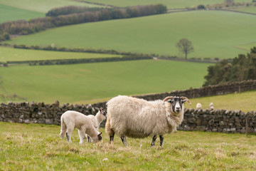 ewe grazing with lambs