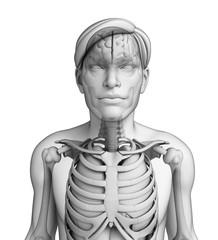 Female body respiratory system