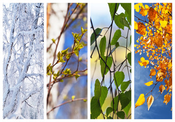 Birch tree and foliage at different times of year. Сollage