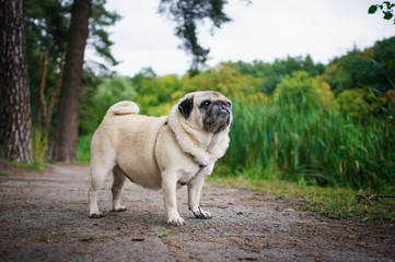 Little fat pug