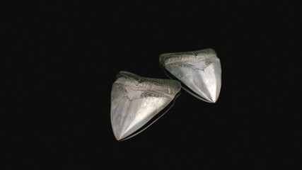Megalodon teeth in black background