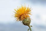 Centaurea ornata. Centaura adornada, Espinas de calvero. poster