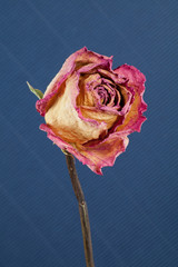 withered rose on blue