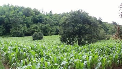 Corn field and longan