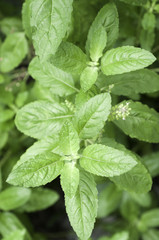 The White holy basil or Basil