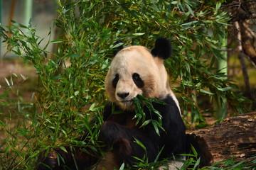 Панда ест листья эвкалипта