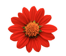 Red Flower - chrysanthemum