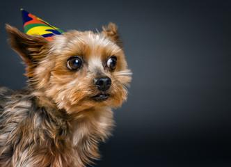 Yorkshire Terrier Portrait mit Hütchen
