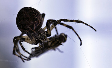 Spider with its prey in web in front of light blue background