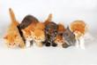 Acht junge Perserkätzchen