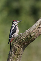 Great-spotted woodpecker, Dendrocopos major