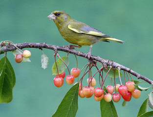 Greenfinch, Carduelis chloris