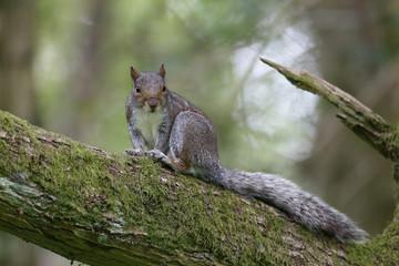 Grey squirrel, Sciurus carolinensis