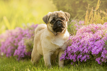 Pug puppy in flowers