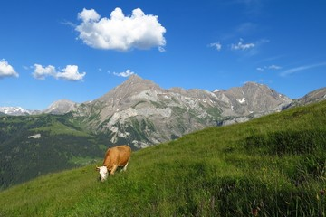 Grazing cow and Spitzhorn, mountain in the Bernese Oberland