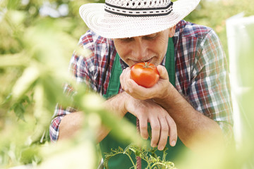 Mature male farmer smelling first ripe tomato