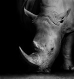 Fototapety Rhino in Black and White