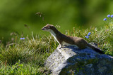 stoat at großglockner