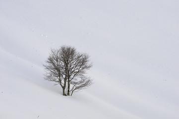 faggio nella neve
