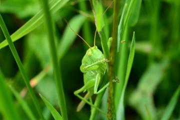 Кузнечик в траве