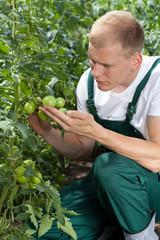 Unripe tomatoes in a garden