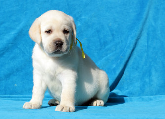 yellow labrador puppy portrait close up