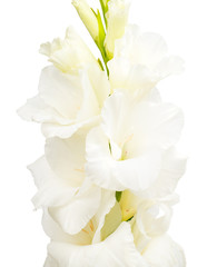 branch of white gladiolus