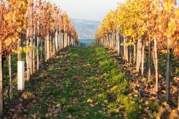 Weinrebengang im Herbst