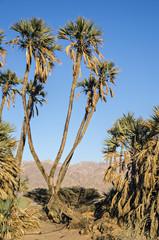 Endemic palms in desert of the Negev