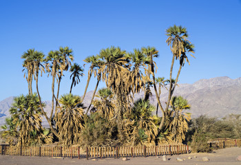 Dome palms in desert of the Negev