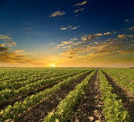 Soybean field ripening at spring season