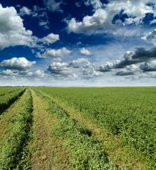 Clover, shamrock field freshly mowed.