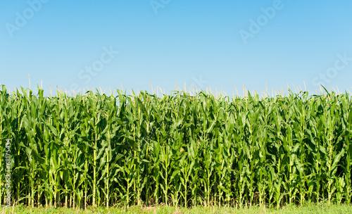 Fotobehang Aromatische Detailed view of still unripe maize plants
