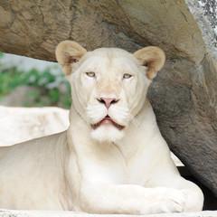 Portrait single white tiger in open zoo