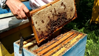 Beekeeper working on beehive with honeycomb
