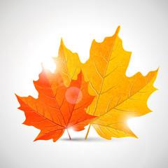 maple leaves - illustration