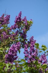 Syringa Lilac purple