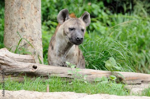 Papiers peints Hyène Single hyena looking to something
