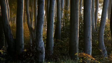 Wald aus alten Buchen